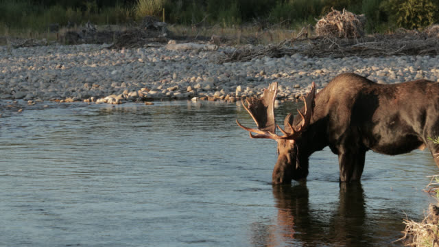 ms 4k shot of a bull moose  (alces alces) crossing/drinking from a stream - north america stock videos & royalty-free footage