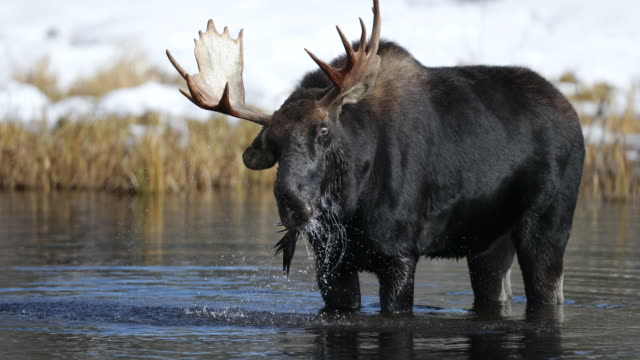 MS 4K shot of a bull moose (Alces alces) feeding/splashing/shaking in a beaver pond