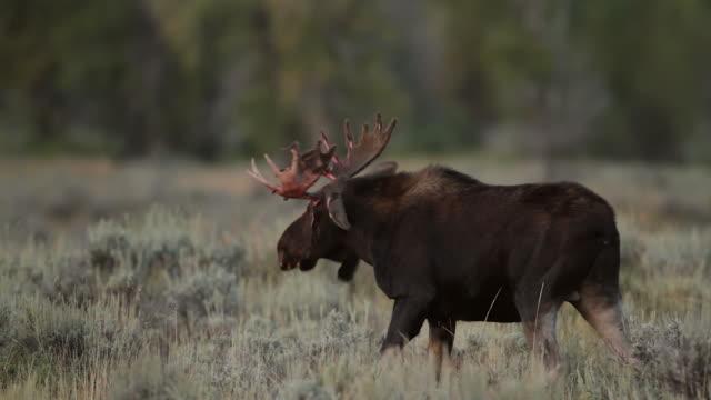 ms  shot of a bull moose (alces alces) in the rut, thrashing, bucking, kicking and frothing in the sage brush attempting to rid himself of his rubbed velvet - bocksprång bildbanksvideor och videomaterial från bakom kulisserna