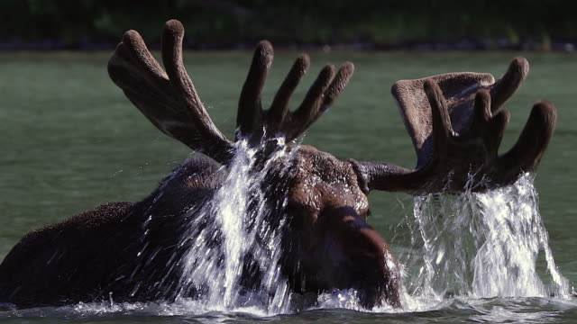 sts 4k shot of a bull moose (alces alces) in velvet lifting his antlers out of the water - 枝角点の映像素材/bロール