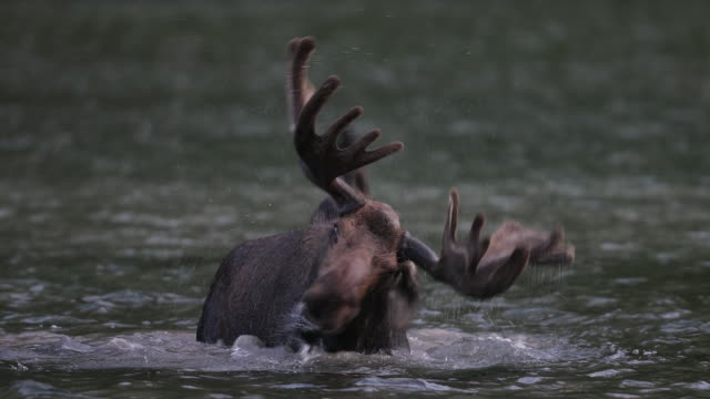 ts 4k shot of a bull moose (alces alces) in velvet shaking his water soaked antlers - elk stock videos & royalty-free footage
