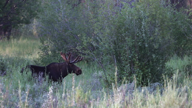 vidéos et rushes de ms 4k shot of a bull moose (alces alces) in velvet - caribou