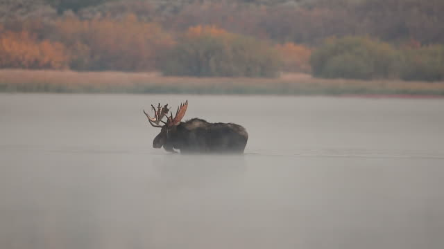 WS MS shot of a bull moose (Alces alces) loosing his velvet and crossing the Snake River with fall foliage in the background