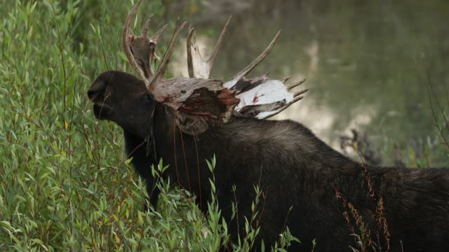 TS 4K shot of a bull moose (Alces alces) rubbing off his bloody velvet