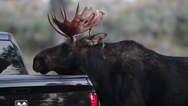 ts 4k shot of a bull moose (alces alces) rubbing on a dodge ram pickup truck - ヘラジカ点の映像素材/bロール