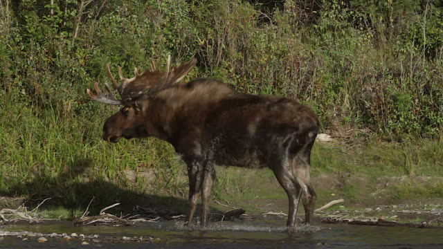 MS  shot of a bull moose (Alces alces) standing and shaking off on the banks of the Snake River