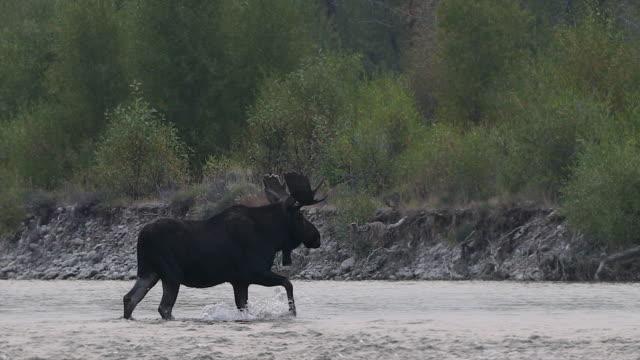 vídeos y material grabado en eventos de stock de ws 4k shot of a bull moose (alces alces) walking across the snake river - alce