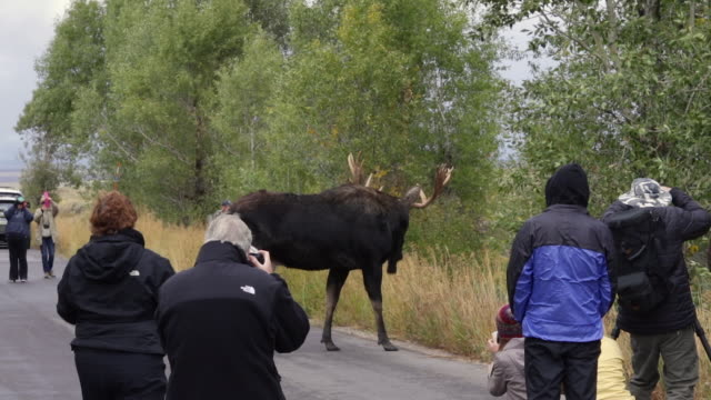 ws  shot of a bull moose (alces alces) walking through a crowd of photographers - ヘラジカ点の映像素材/bロール