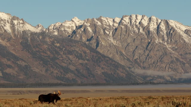 ws   shot of a bull moose (alces alces) walking through the sagebrush flats in front of the grand tetons at sunrise - grand teton bildbanksvideor och videomaterial från bakom kulisserna