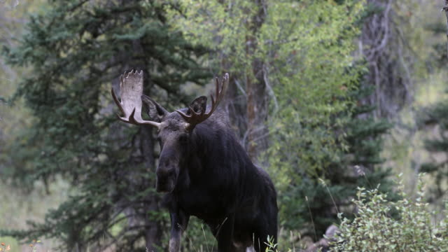MS 4K shot of a bull moose (Alces alces) walking up a hillside into the camera