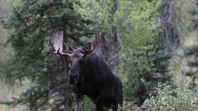 vídeos y material grabado en eventos de stock de ms 4k shot of a bull moose (alces alces) walking up a hillside into the camera - alce