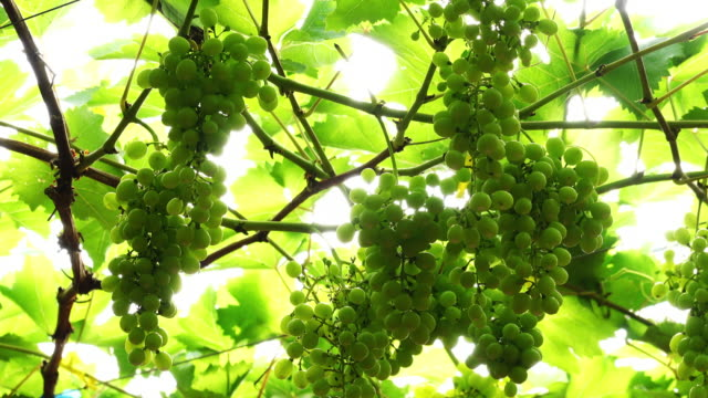dolly shot of a bunch of muscat grapes - grape stock videos & royalty-free footage