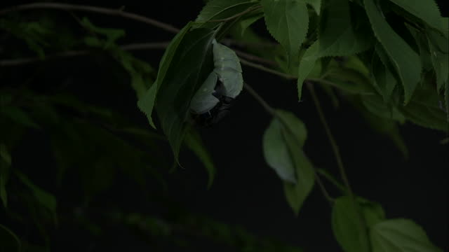 Shot of a butterfly(Sasakia charonda) emerging from pupa and expanding wings