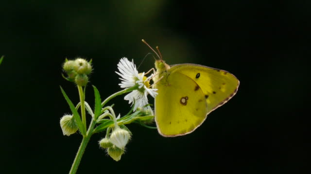 Shot of a Butterfly(Pale Clould Yellow) sucking nectar from a flower and flying