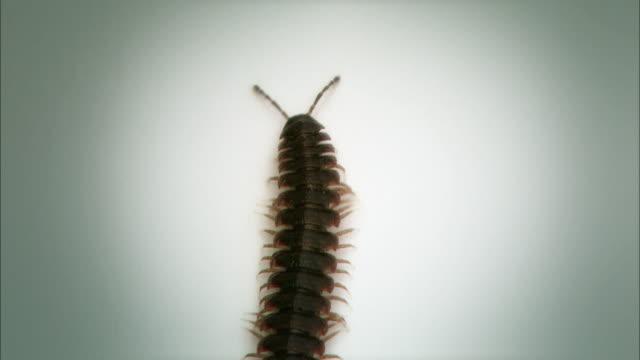 shot of a centipede crawling on white background - hundertfüßer stock-videos und b-roll-filmmaterial