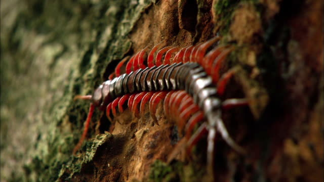 shot of a centipede crawling up the tree - south korea stock videos & royalty-free footage