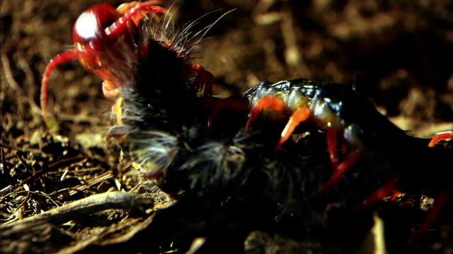 shot of a centipede huntting caterpillar - aggression点の映像素材/bロール