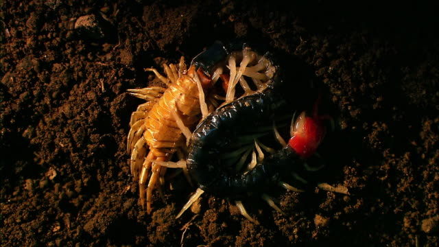 shot of a centipede shedding its skin - 抜け殻点の映像素材/bロール