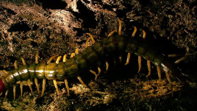 shot of a centipede - hundertfüßer stock-videos und b-roll-filmmaterial