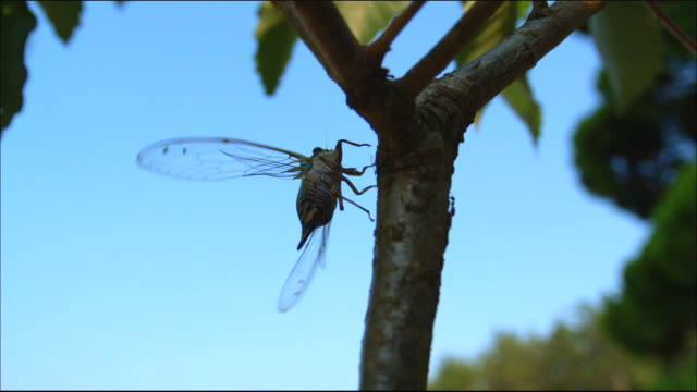 shot of a cicada spread wings and flying on tree trunk - spread wings stock videos & royalty-free footage