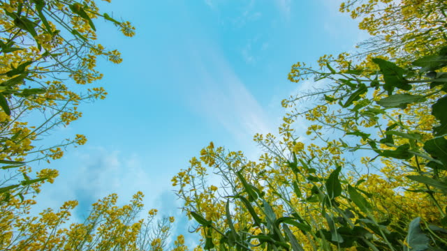 T/L 8K shot of a cloudscape over canola plants