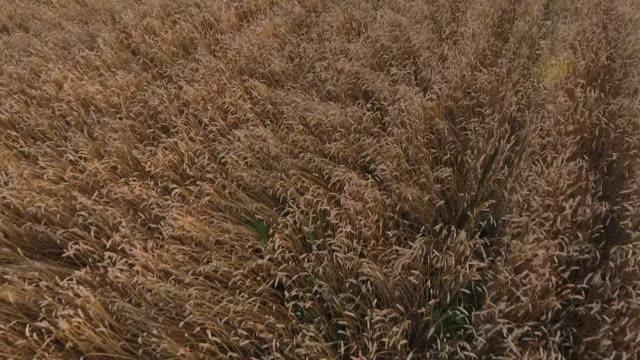 vídeos de stock, filmes e b-roll de tiro de colheitadeiras trabalhando em um campo ao pôr do sol - trigo