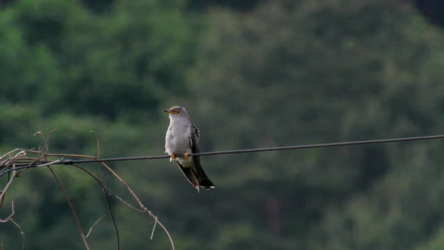 shot of a common cuckoo perching on rope - cuckoo stock videos and b-roll footage