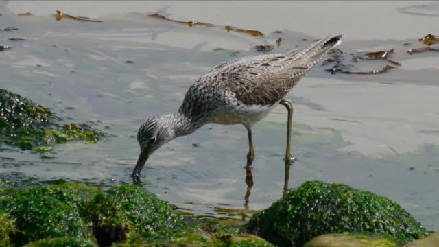 shot of a common greenshank searching for prey - クサシギ属点の映像素材/bロール