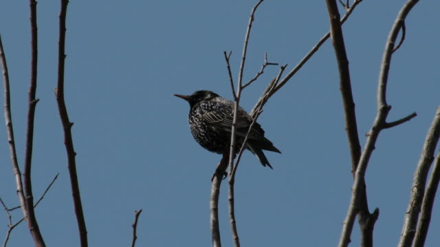 Shot of a Common starling perching on branch