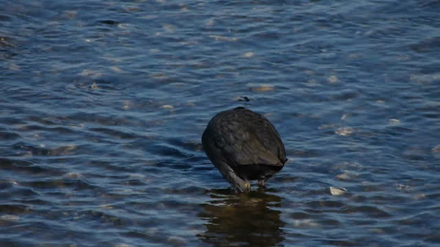 stockvideo's en b-roll-footage met shot of a coot searching prey at the river - koet