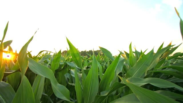 4K shot of a corn field at dawn