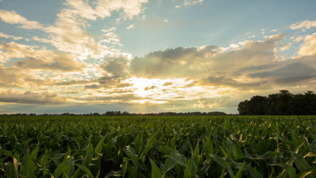 t/l 8k shot of a corn field at dusk - corn cob stock videos & royalty-free footage