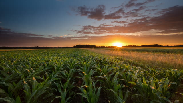 T/L 8K shot of a corn field at sunrise