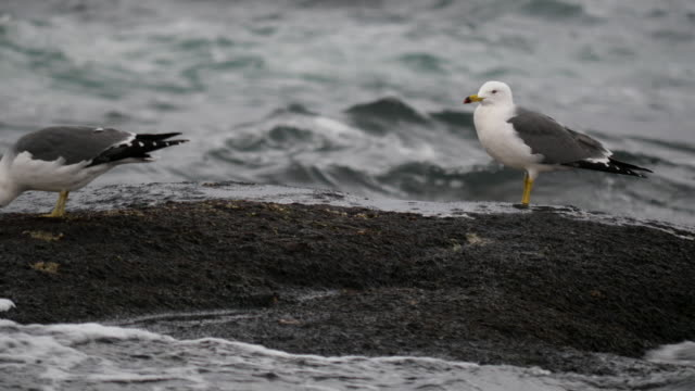 Shot of a couple of black-tailed gull resting on boulder near the sea