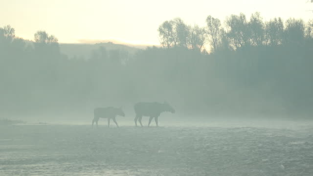 ws   shot of a cow and calf moose (alces alces) backlit crossing the snake river in the morning fog - river snake stock videos & royalty-free footage
