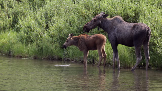 ms 4k shot of a cow and calf moose (alces alces) drinking on the water's edge - アメリカグレイシャー国立公園点の映像素材/bロール