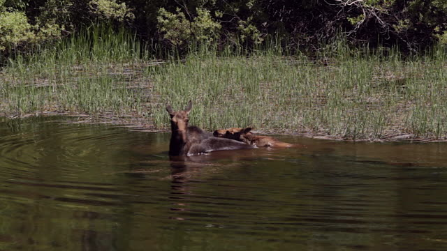 MS  shot of a cow moose and calf (Alces alces) swimming in a high mountain pond
