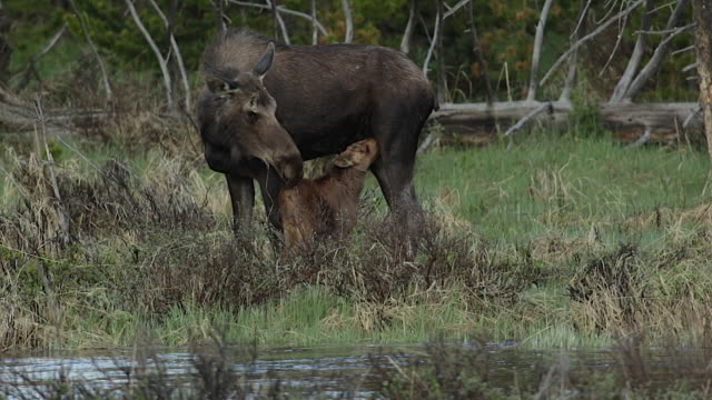 ms  shot of a cow moose (alces alces) and newborn calf nursing on the banks of the colorado river - animal family stock videos and b-roll footage