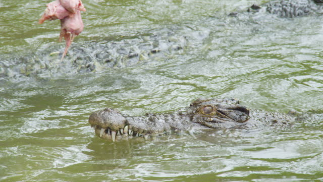 a shot of a crocodile catching bait - crocodile stock videos & royalty-free footage
