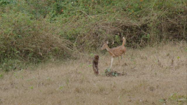 shot of a deer in a forest - pälsteckning bildbanksvideor och videomaterial från bakom kulisserna