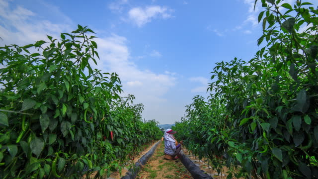 Shot of a farmer picking red and green peppers in a farm