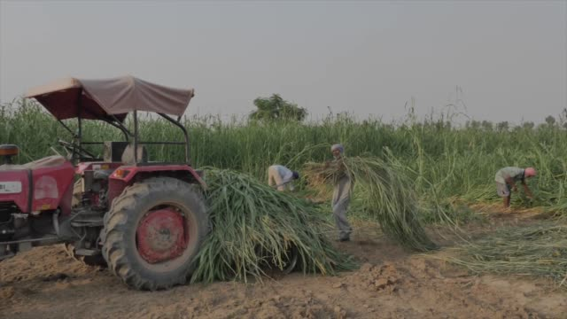 shot of a farmer transferring rice crops onto the back of a tractor in the middle of a field in punjab, india. - punjab region stock-videos und b-roll-filmmaterial