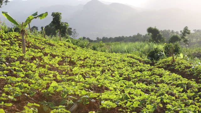 ws shot of a farming area with newly planted coffee seedlings that are growing on a field near pilate haiti mountains can be seen in the background - afro caribbean ethnicity stock videos and b-roll footage