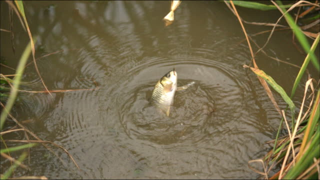 shot of a fish caught in a paddy field in guizhou, china - angeln stock-videos und b-roll-filmmaterial