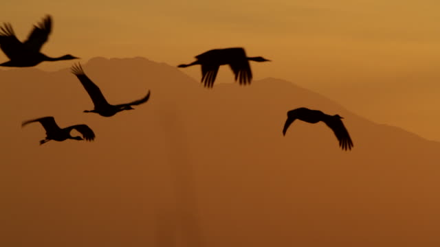 ms shot of a flock of greater sandhill cranes ( grus canadensis) flying backlit at sunset in front of the snow capped mountains - gruppo medio di animali video stock e b–roll