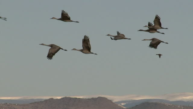 ms shot of a flock of greater sandhill cranes (grus canadensis) taking off and flying in front of the snow capped mountains (with sound) - crane stock videos and b-roll footage