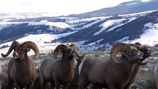 ms/slomo  shot of a four massive bighorn sheep ram (ovis canadensis) flehmen/sniffing for ewes in heat - mittelgroße tiergruppe stock-videos und b-roll-filmmaterial
