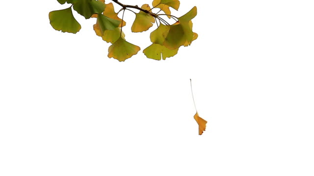Shot of a Ginkgo Leaf Hanging from Spiderweb