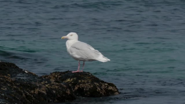 Shot of a glaucous gull on the reef at the east sea