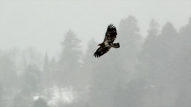 vidéos et rushes de ms/slomo  shot of a golden eagle (aquila chrysaetos) taking flight in a snow blizzard - aigle royal